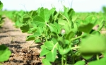 A-young-plant-of-green-vegetable-peas.-Green-field-of-peas-with-young-plants.-1148612969_1261x835-e1582118874908